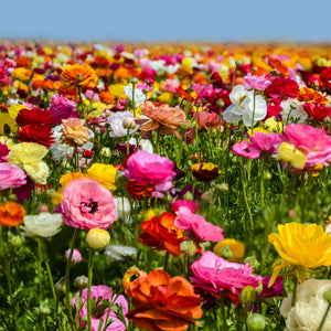 Tecolote Ranunculus Flower Fields Collection