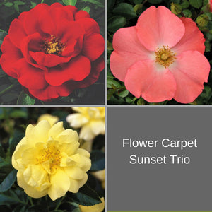 Flower Carpet Sunset Trio
