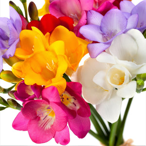 Yellow purple pink white freesia