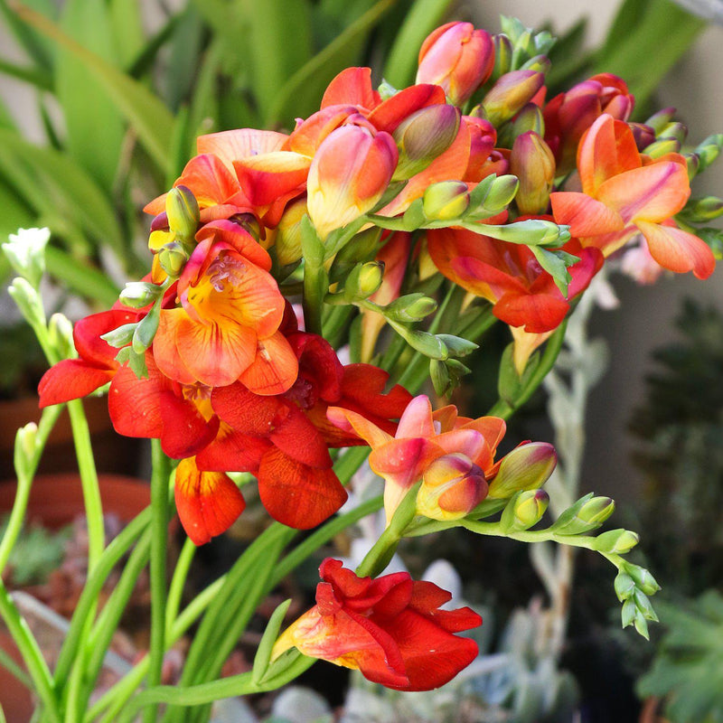 Freesia bicolor double flowers