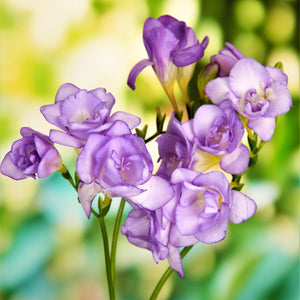 Double blue freesia flowers