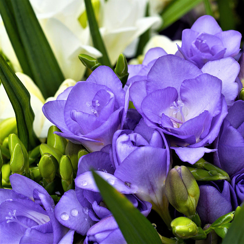 Double purple freesia flowers