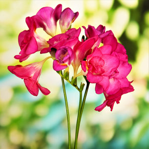 Double pink freesia flowers
