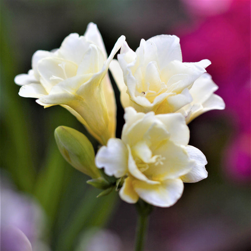 Double white freesia flowers
