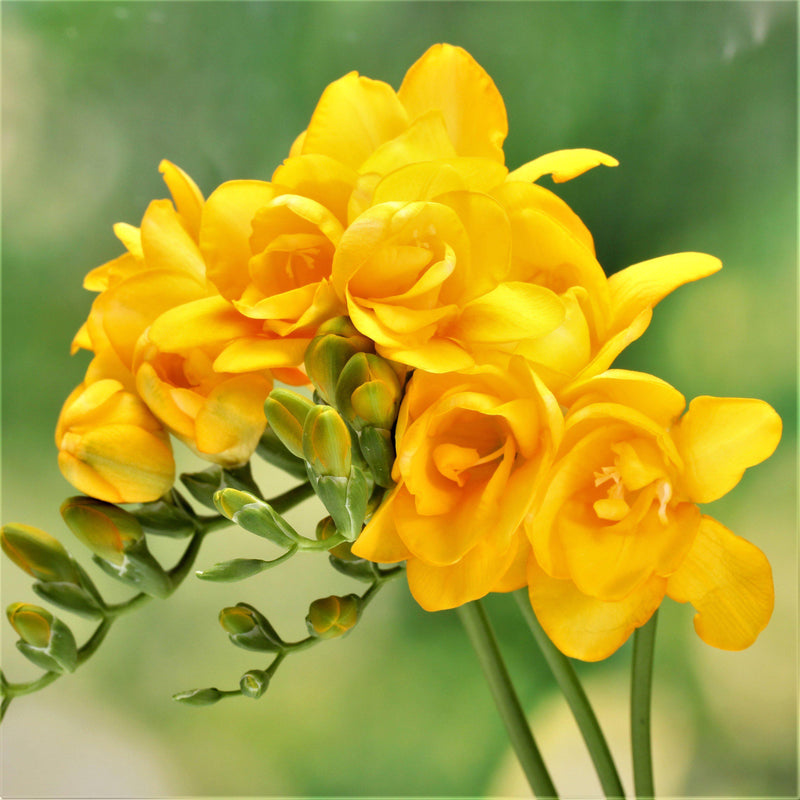 Yellow double freesia blooms