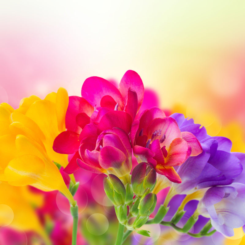 Pink, yellow, purple freesia flowers