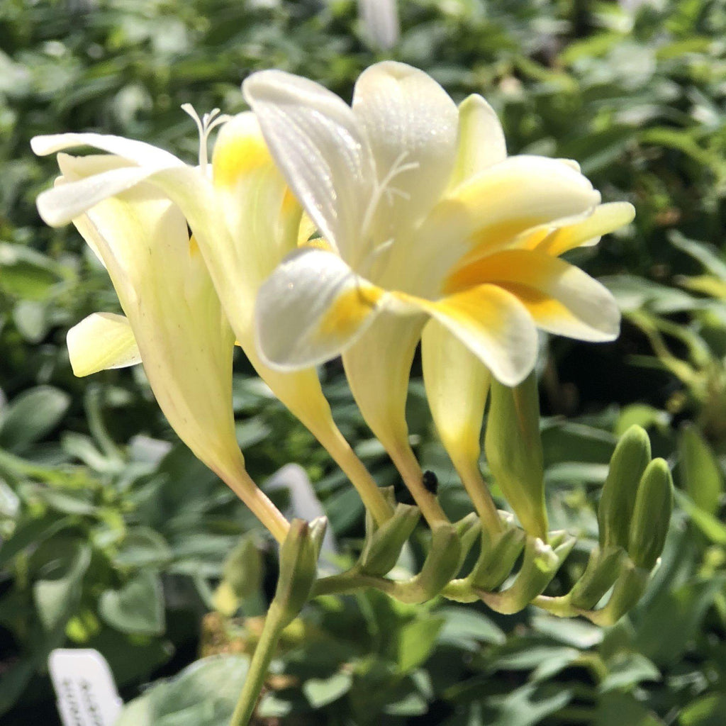 Freesia Heirloom Antique Alba