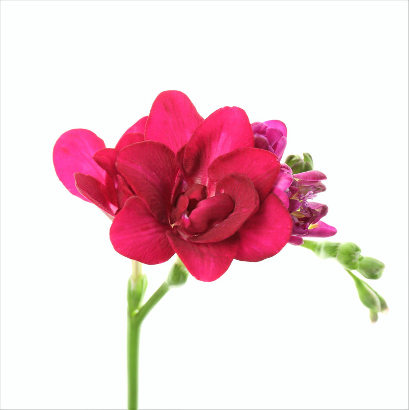 Pink double freesia flowers