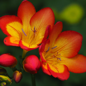 Red and yellow freesia