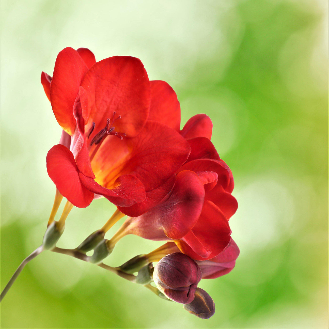 Freesia Single Bicolor   Freesia Lacteal Corms   Fragrant Red and ...