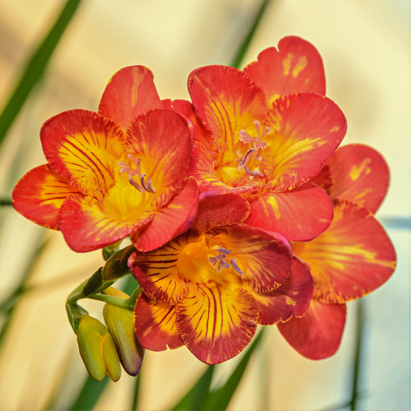 Orange and yellow freesia bicolor