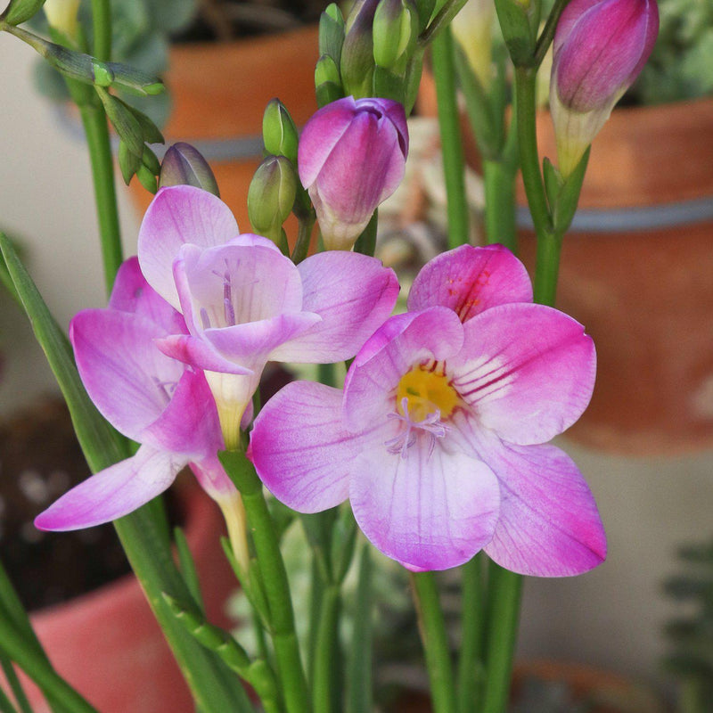 Freesia single pink flower