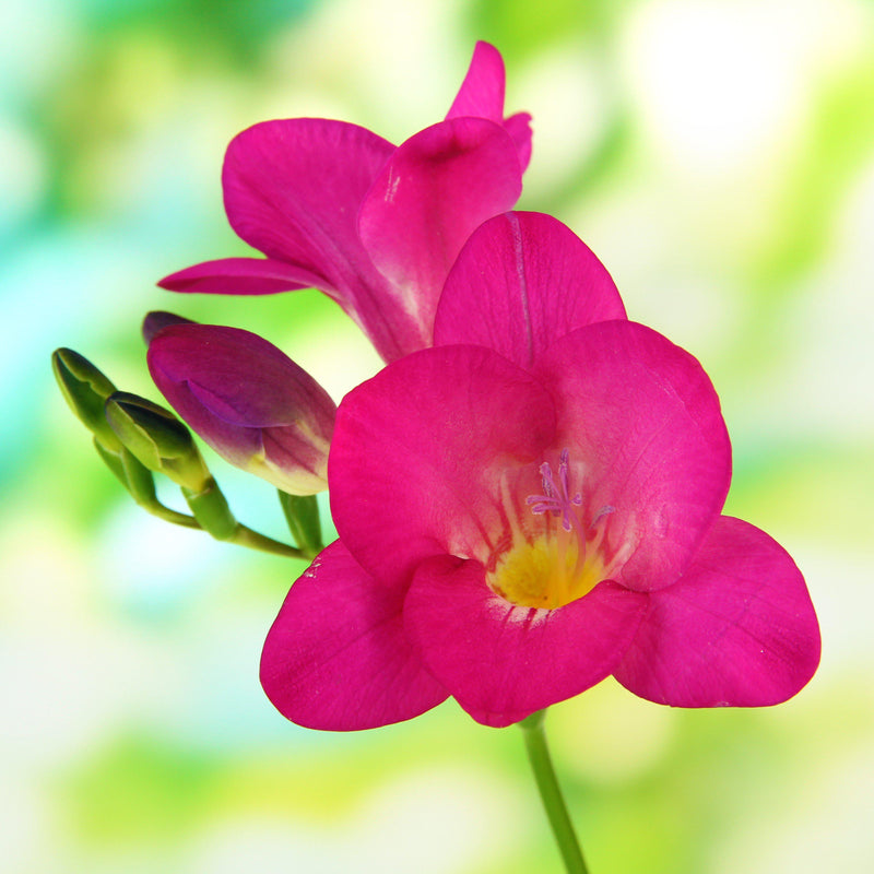 Freesia single pink