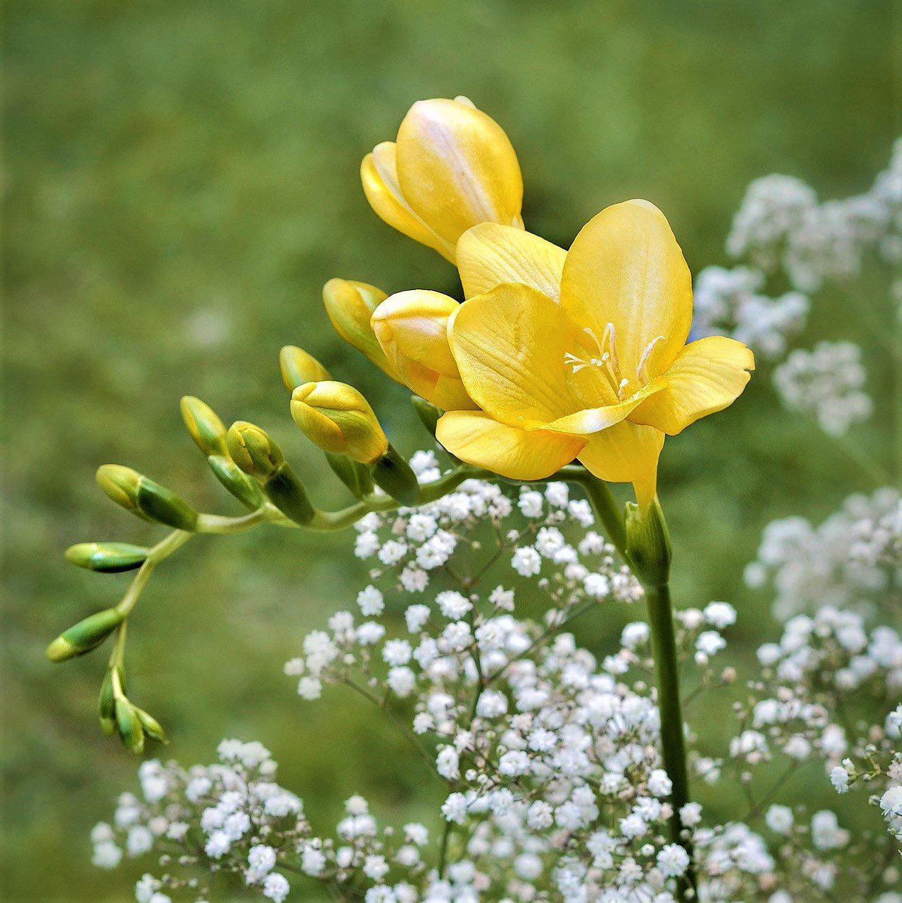 Freesia Single Yellow Freesia Lacteal Corms Fragrant