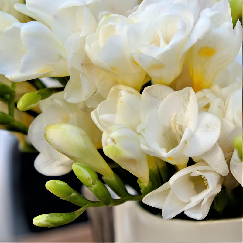 Freesia white flower collection