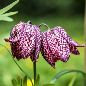 "Beautiful Checkered ""Meleagris"" Fritillaria"