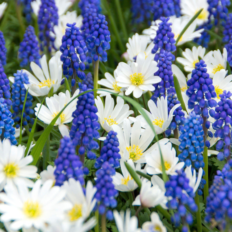 Blue Muscari and White Anemone
