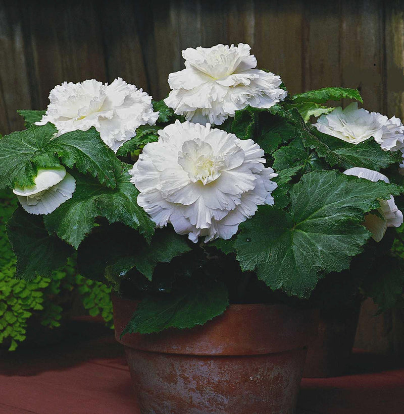 Begonia Giant Ruffled White