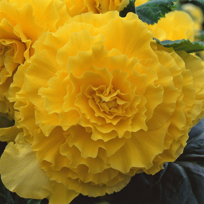 Begonia Giant Ruffled Yellow