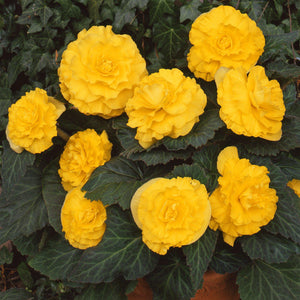 Giant Ruffled Yellow Begonia Blooms