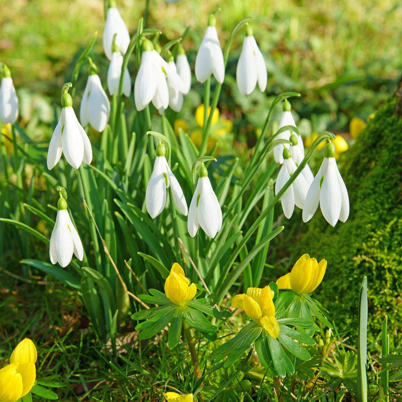 Winter's End, Galanthus & Eranthis