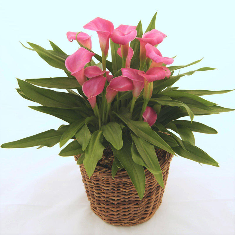 Hot Pink Calla Lilies for Sale