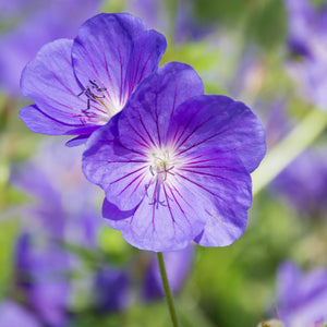 products/Geranium_Kashmir_Purple.SHUT.jpg