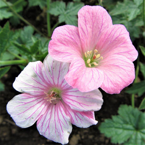 products/Geranium_Wargraves_Pink.DG.jpg