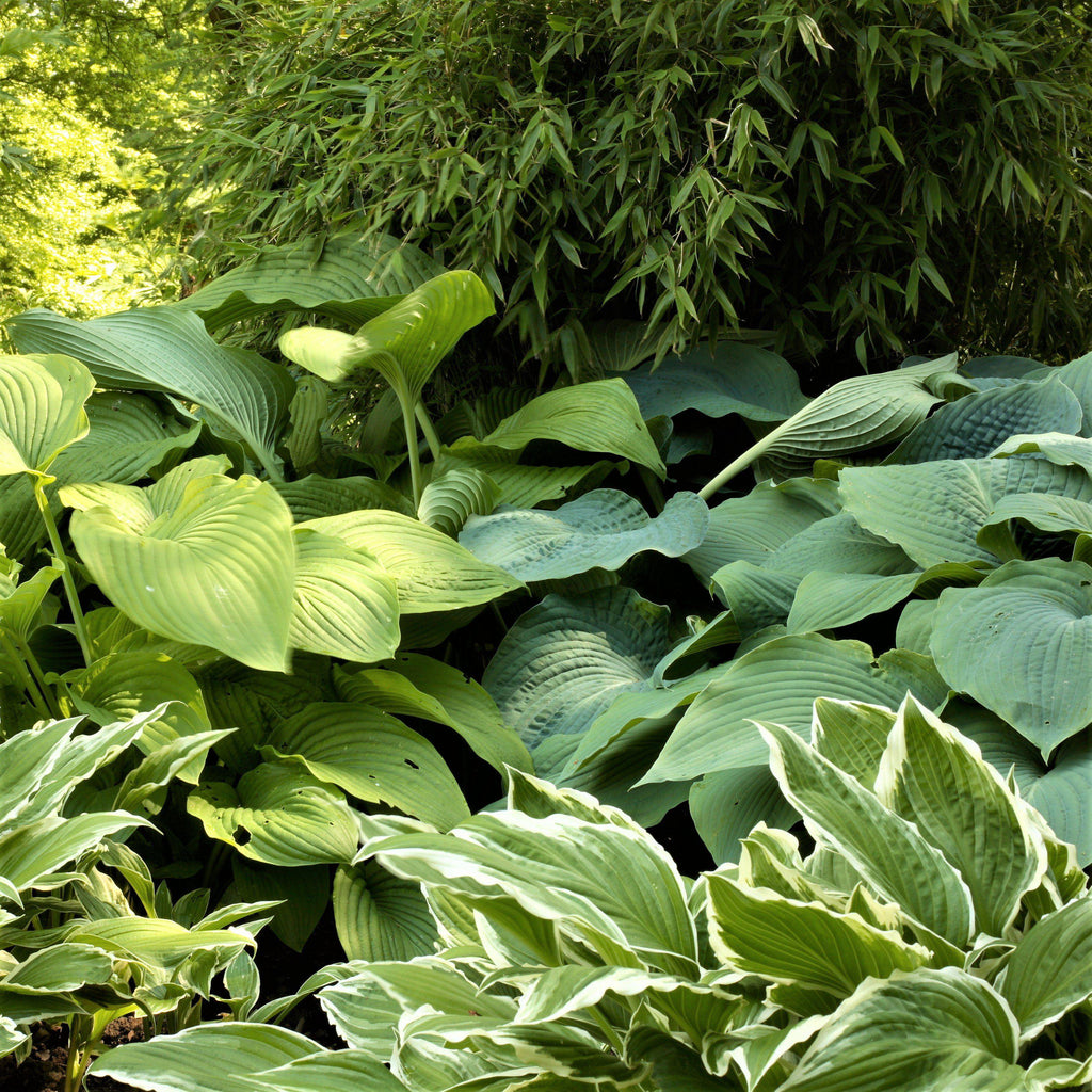 Large Beautiful Hosta Plants For Sale Giants Collection Easy To