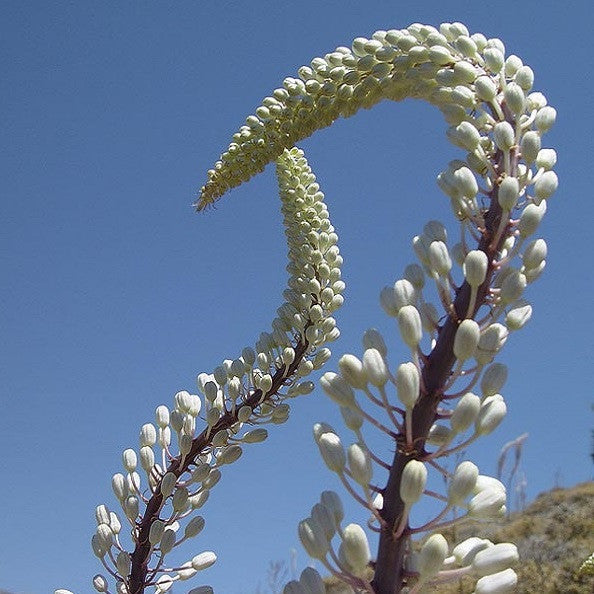 Giant White Squill