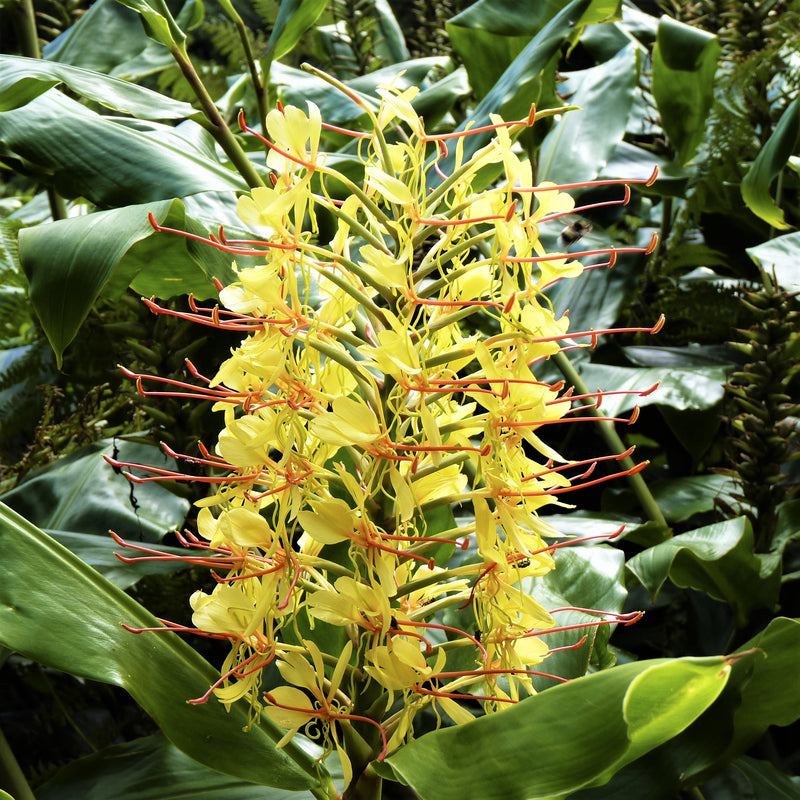 Ginger, Fragrant Gardenerianum