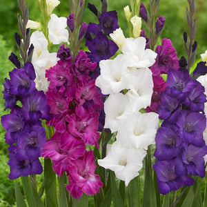Gladiolus Berries & Cream Collection