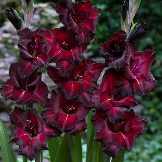 Burgundy Gladiolus Multiple Blooms