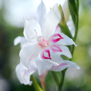 products/Gladiolus_Elvira-1.IBULB.jpg