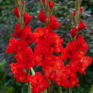 Orange-Red Gladiolus Fire Cracker