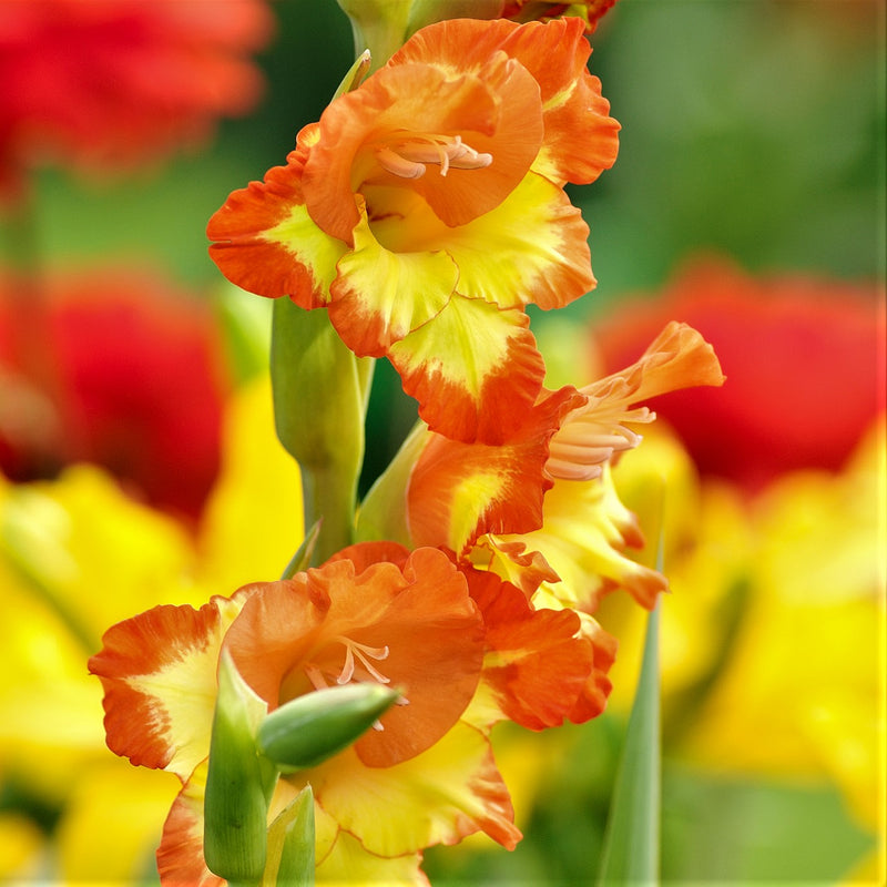 Yellow and orange gladiolus flowers
