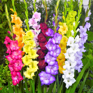 Gladiolus Glorious Glads Mix