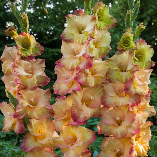 Shooter Gladiolus Yellow Fuchsia