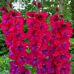 products/Gladiolus_Union_Jack__Square.KVP.jpg