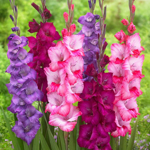 Gladiolus Verry Berry Collection