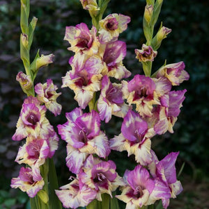 Yellow & Purple Gladiolus Viola