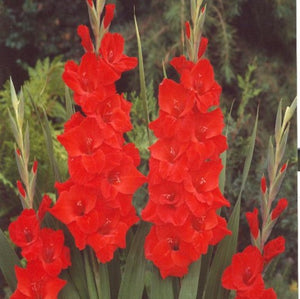 products/Gladiolus_Vuelta__Square.KVP.jpg