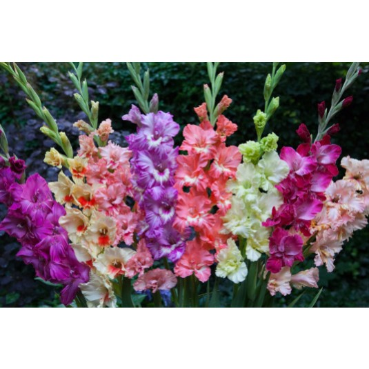 Mixed Color Gladiolus Frizzle Mix