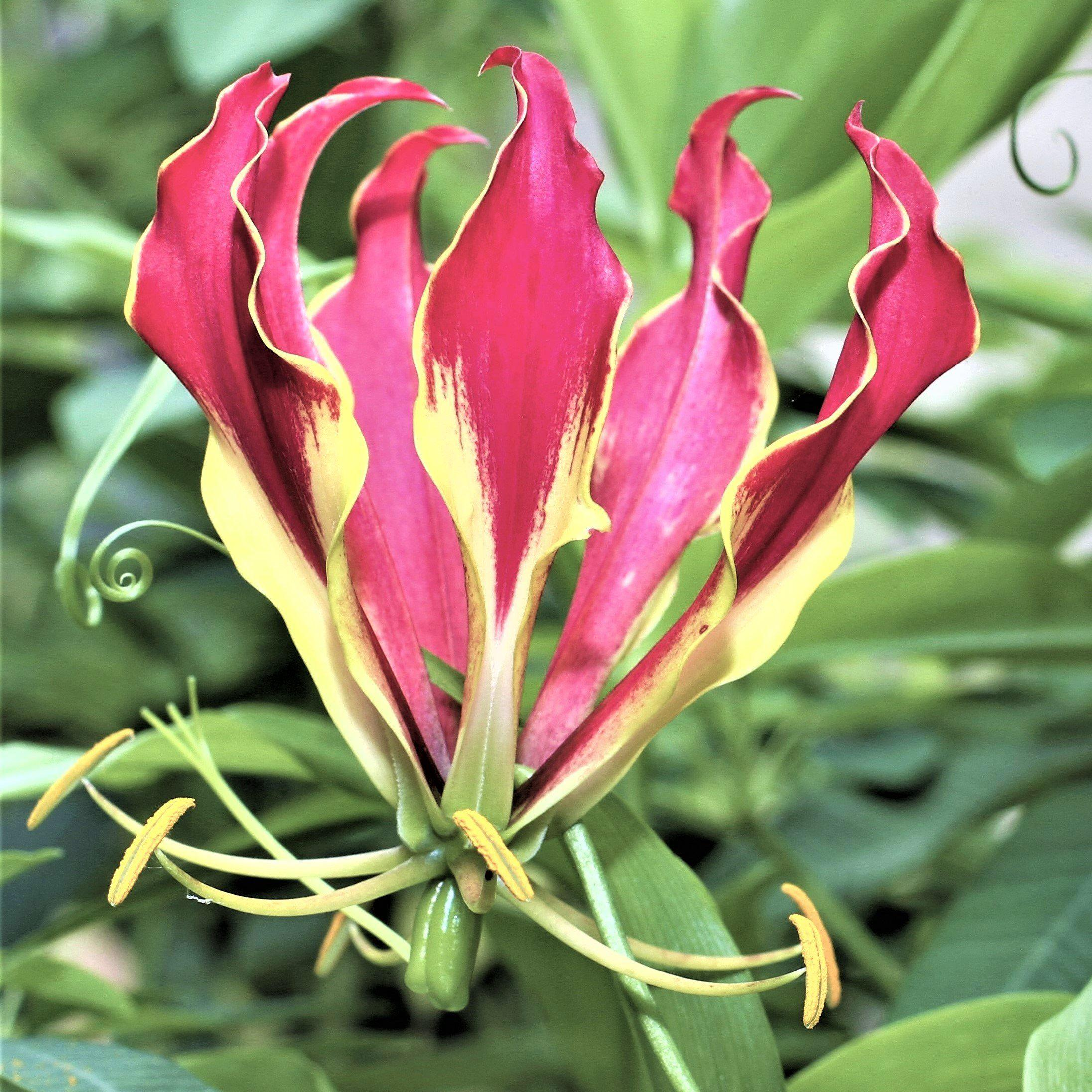 Gloriosa Bordeaux – Easy To Grow Bulbs - photo#13