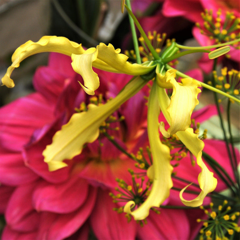 Gloriosa Lutea Lily Bulb For Sale