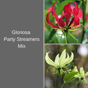 Red and Yellow Gloriosa Lilies for Sale