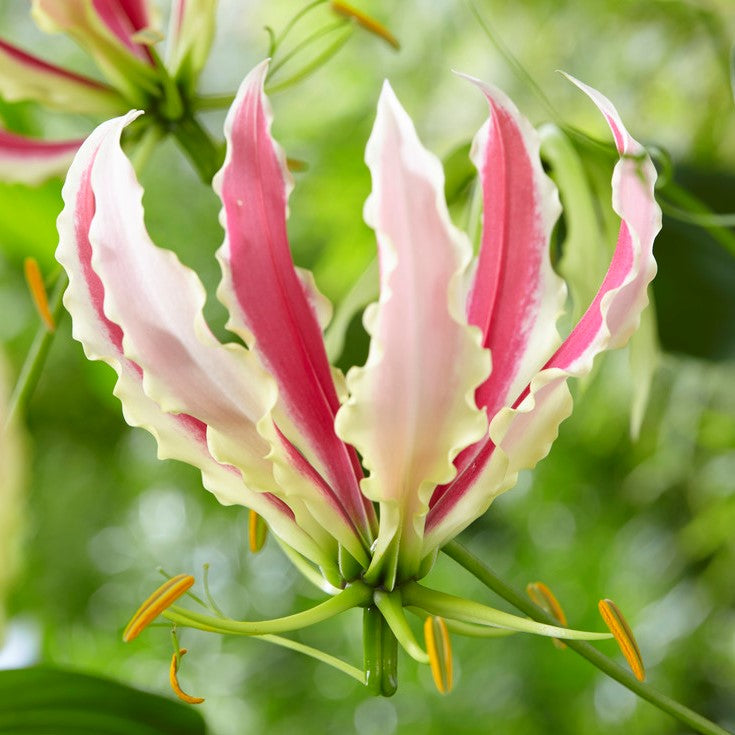 Gloriosa Sparkling Jip Flower Bulbs for Sale