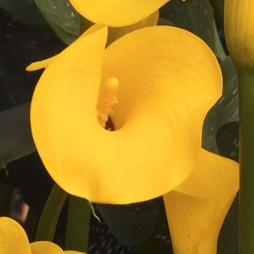 Yellow Calla Lily Flowers