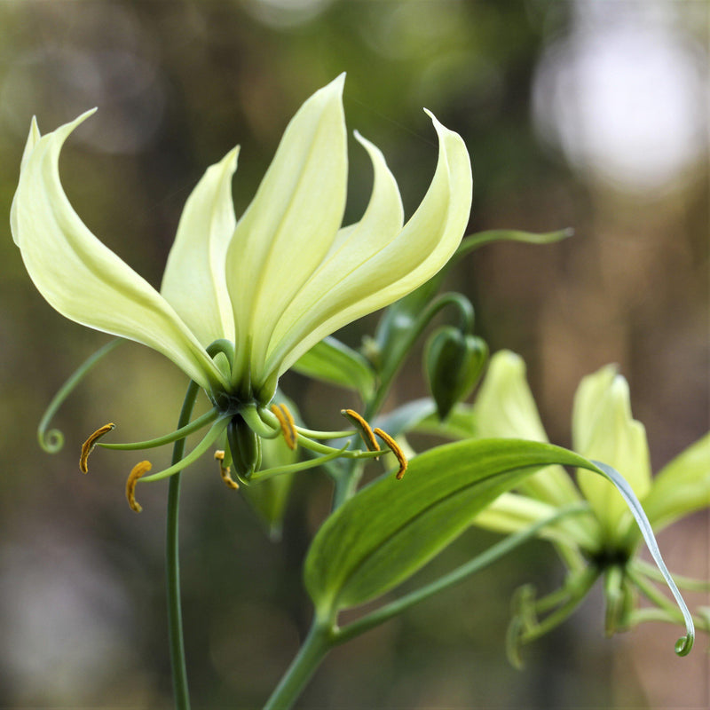 Gloriosa Greenii
