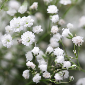 Gypsophila Paniculata (Baby's Breath) White